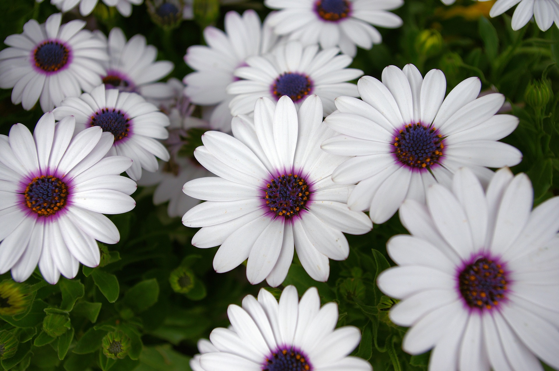 White daisies with purple centers